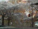 050415_sakura