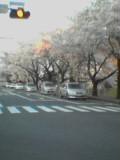050415_sakura2